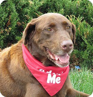 """Labrador Retriever Mix Dog for adoption in Overland Park, Kansas - Chocolate Chip """"CC"""""""