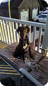 Labrador Retriever/Hound (Unknown Type) Mix Puppy for adoption in East Windsor, Connecticut - Timmy - pending