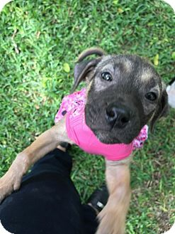 Shepherd (Unknown Type) Mix Puppy for adoption in Houston, Texas - Sansa
