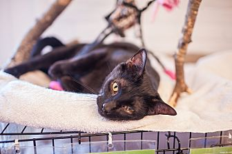 Domestic Shorthair Cat for adoption in Statesville, North Carolina - Carina