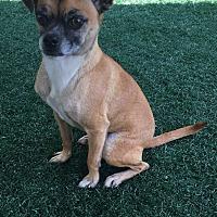 Adopt A Pet :: Molly - Chula Vista, CA