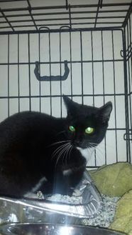 Domestic Shorthair/Domestic Shorthair Mix Cat for adoption in St. Thomas, Virgin Islands - bacon