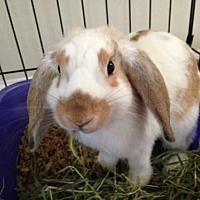 Adopt A Pet :: Scarlet - Newtown Square, PA
