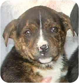 Labrador Retriever Mix Puppy for adoption in Fulton, Missouri - Marie