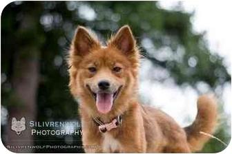Australian Shepherd Mix Dog for adoption in Shoreline, Washington - Sierra