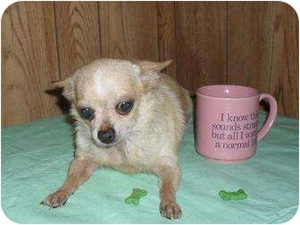 Chihuahua Dog for adoption in Chandlersville, Ohio - Rayna