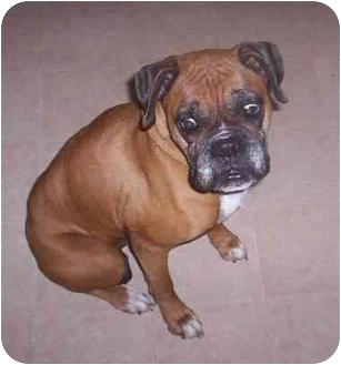 Boxer Dog for adoption in W. Columbia, South Carolina - Honey