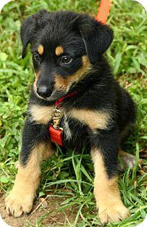 German Shepherd Dog Mix Puppy for adoption in Beacon, New York - Edmund