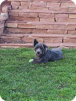 Briard Puppy for adoption in Littleton, Colorado - SKIPPER