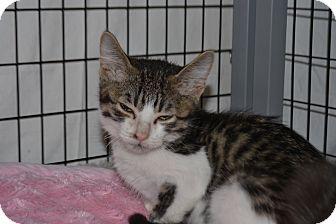 Domestic Shorthair Kitten for adoption in Edwardsville, Illinois - Franny