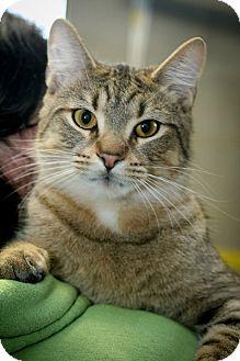 Domestic Shorthair Kitten for adoption in Anderson, Indiana - Bon Bon & Twinkie