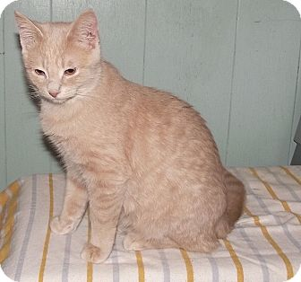 Domestic Shorthair Cat for adoption in Englehart, Ontario - George