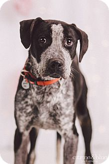 Pointer/Australian Cattle Dog Mix Dog for adoption in Portland, Oregon - Jake