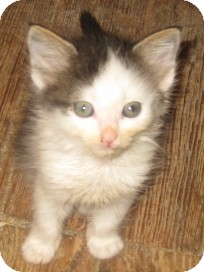 Maine Coon Kitten for adoption in Dallas, Texas - Mystic