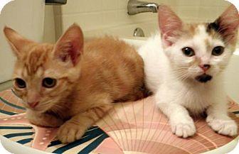 Domestic Mediumhair Kitten for adoption in Chandler, Arizona - Pumpkin
