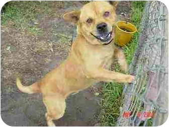 Chow Chow Mix Dog for adoption in Sealy, Texas - Red