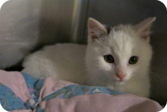 Domestic Shorthair Kitten for adoption in Geneseo, Illinois - Garcia