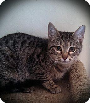 Domestic Shorthair Kitten for adoption in Richmond, Virginia - Samantha