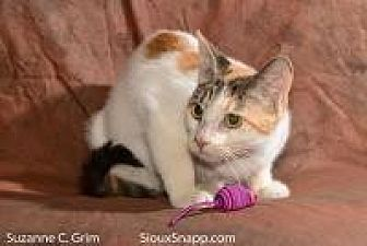 Calico Cat for adoption in New Orleans, Louisiana - Rose