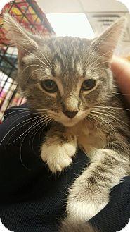 Domestic Mediumhair Kitten for adoption in Yorba Linda, California - Ellie