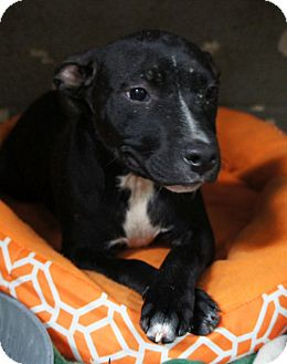 Pit Bull Terrier Mix Puppy for adoption in Henderson, North Carolina - Lola*
