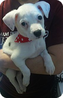 Labrador Retriever/Pit Bull Terrier Mix Puppy for adoption in San Antonio, Texas - Iris