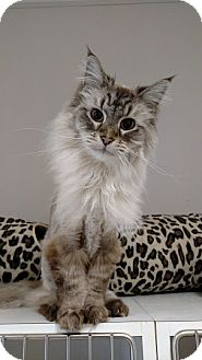 Domestic Longhair Cat for adoption in Chaska, Minnesota - Spartan
