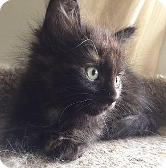 Domestic Mediumhair Kitten for adoption in Meridian, Idaho - Beth