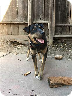 German Shepherd Dog/Labrador Retriever Mix Dog for adoption in Lodi, California - Gracie