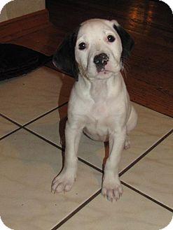 Boxer/Dalmatian Mix Puppy for adoption in Walnutport, Pennsylvania - Alex