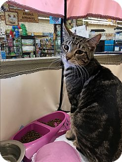 Domestic Shorthair Cat for adoption in Palm Springs, California - Bullet