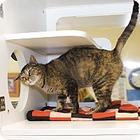 Domestic Mediumhair Cat for adoption in Poteau, Oklahoma - TIGGER