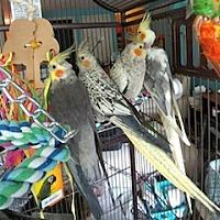 Adopt A Pet :: Cockatiels - Frederick, MD