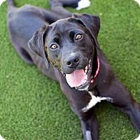 Adopt A Pet :: Ambrosia - Meridian, ID