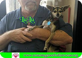 Chihuahua Dog for adoption in Pensacola, Florida - LuLu