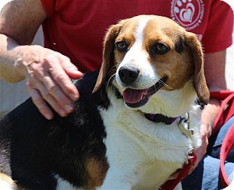 Beagle Mix Dog for adoption in Elyria, Ohio - Lilac