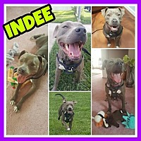 Adopt A Pet :: Indee - Fort Collins, CO