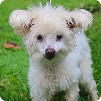 Adopt A Pet :: Harpo - Chester Springs, PA