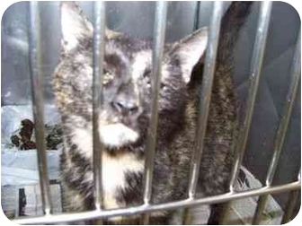 Domestic Shorthair Cat for adoption in Brighton, Tennessee - Isadore