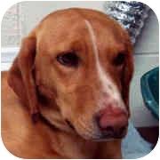 Basset Hound/Labrador Retriever Mix Dog for adoption in Milledgeville, Georgia - Pete