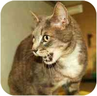 Domestic Shorthair Cat for adoption in Walker, Michigan - Hughey