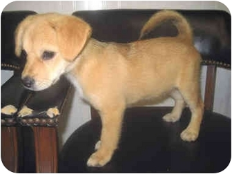 Terrier (Unknown Type, Small) Mix Puppy for adoption in Medford, Massachusetts - Cinnamon