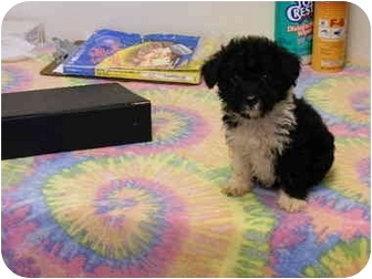 Poodle (Toy or Tea Cup)/Schnauzer (Miniature) Mix Puppy for adoption in Rochester, New Hampshire - Raggedy Ann