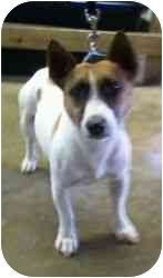 Jack Russell Terrier/Corgi Mix Dog for adoption in Chester, Maryland - Roger