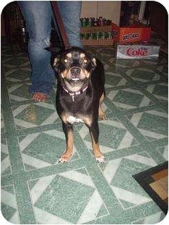 Miniature Pinscher Mix Dog for adoption in Hopkinsville, Kentucky - Hot Dog