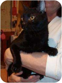 Domestic Shorthair Cat for adoption in Larned, Kansas - Blackie