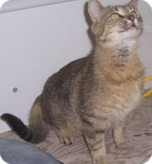 Domestic Shorthair Cat for adoption in Mt. Vernon, Illinois - Crissy