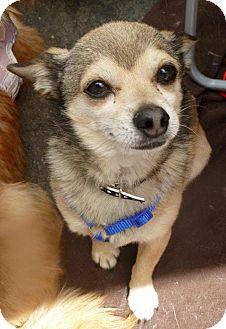 Chihuahua Mix Dog for adoption in San Diego, California - Oscar