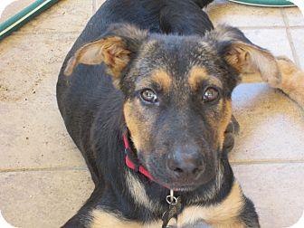 German Shepherd Dog Mix Puppy for adoption in Dripping Springs, Texas - Hogan