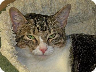 Domestic Shorthair Kitten for adoption in Secaucus, New Jersey - Medela